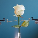Six Million Dollar Plant : Scientists Grow Cyborg Roses