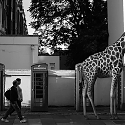 A Zoo of Wild Animals on European City Streets